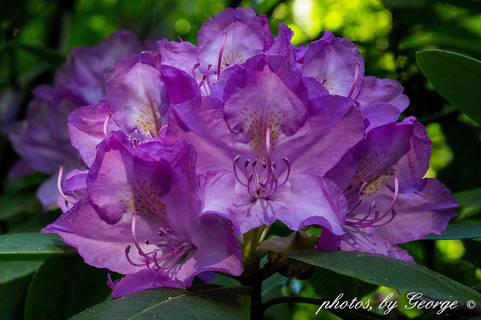 What 39 S Blooming Now Catawba Rosebay Purple