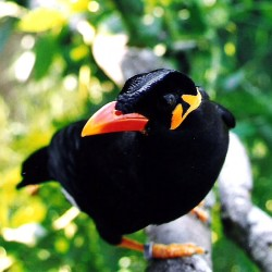 Mynah Bird Talking - photo#6