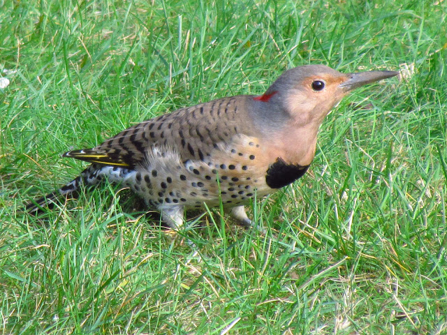 Northern Flicker looking good