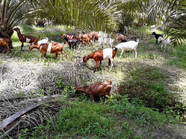 alwigoatfarm