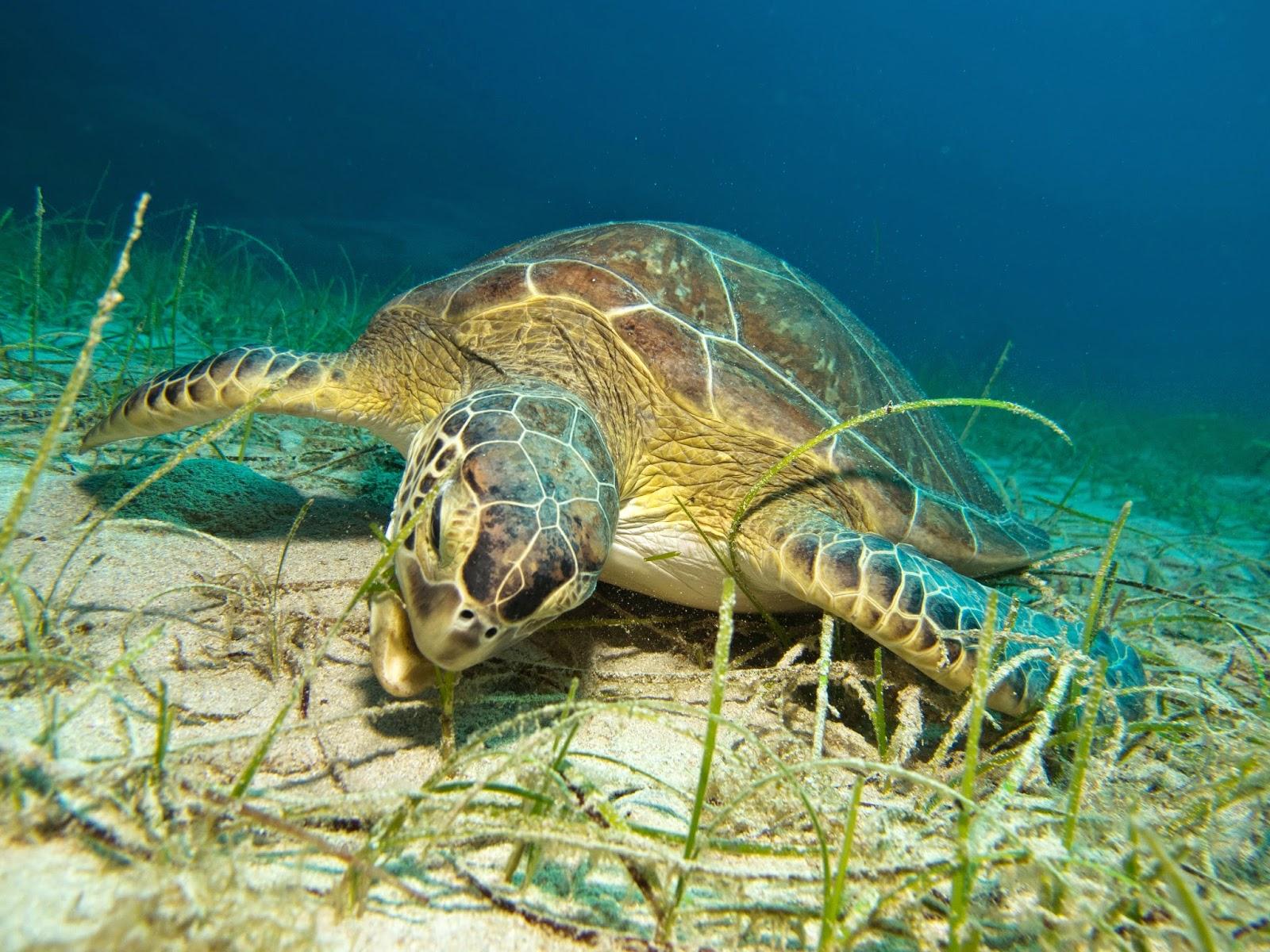 sea turtle having lunch in protaras cyprus