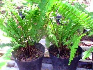pakis kelabang tanaman semak