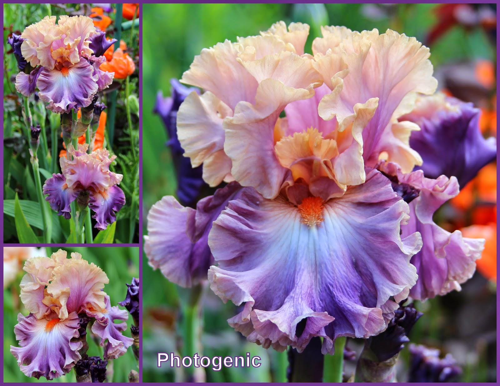how to get bigger irises