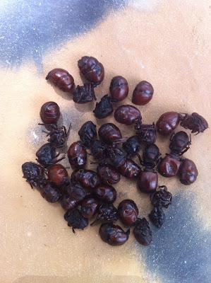 Hormiga culona Colombia de una