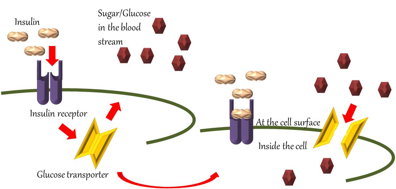 Insulin glucose diabetes
