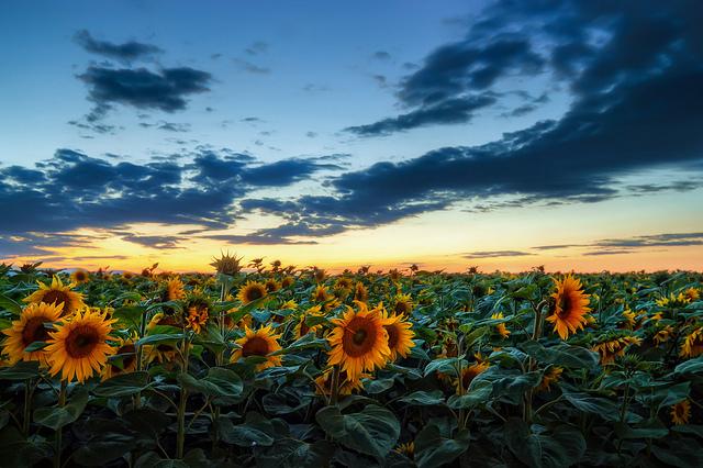 kollima.gr - Μύθοι και ιστορίες για το λουλούδι του καλοκαιριού. Τον Ηλίανθο!