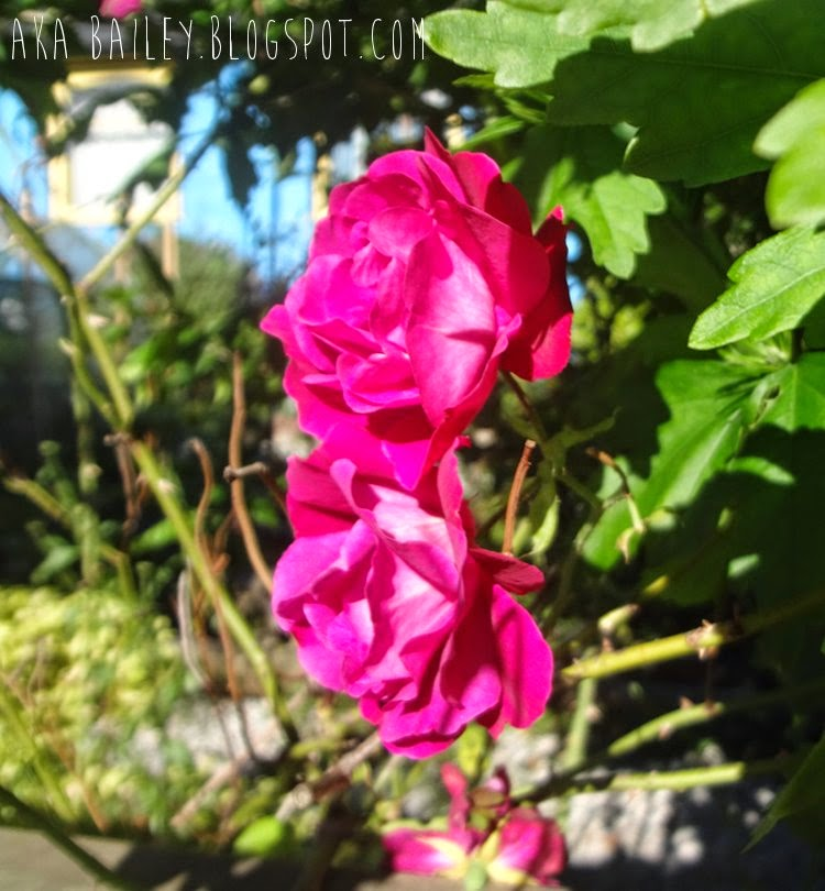 Fuchsia roses in Vancouver