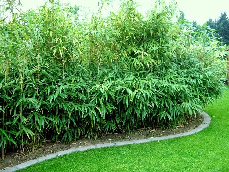 pseudosasa japonica the garden of eaden. Black Bedroom Furniture Sets. Home Design Ideas