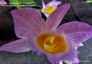 Dendrobium pulchellum, Callista loddigesii