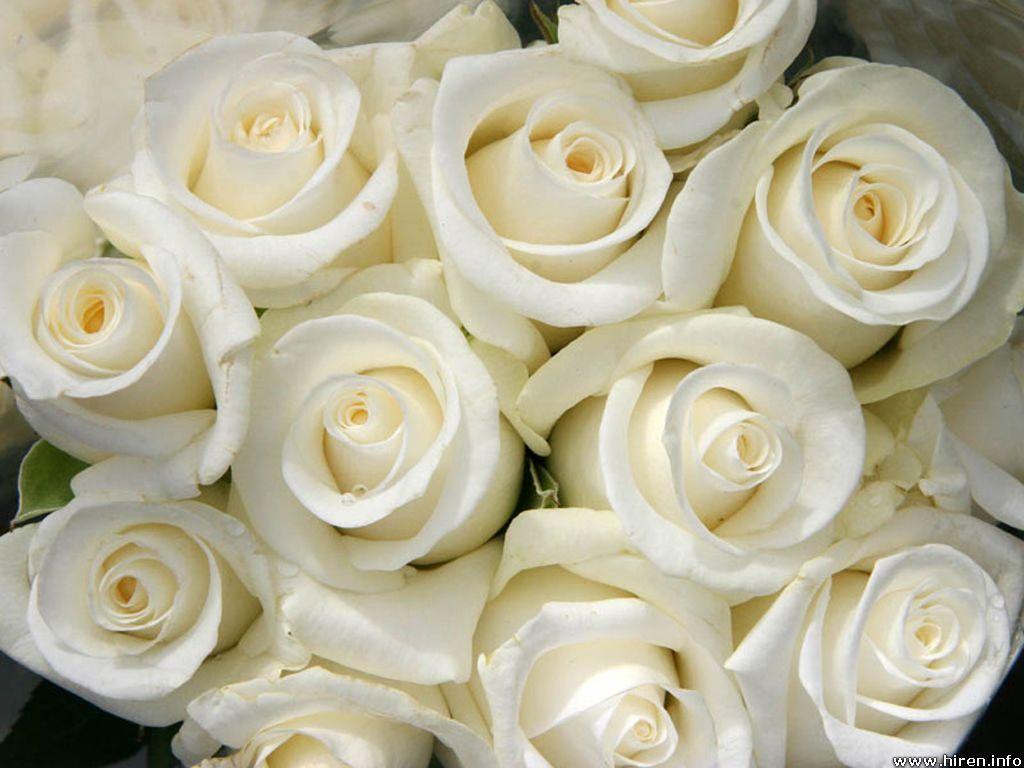 white rose wallpaper