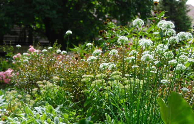 I like how the domes of Allium echo the shape of the Sedum 'Autumn Joy', which is also in the Hill Garden. Rosa 'The Fairy' is re-blooming for the fall on the far left. The purple coneflower (Echinacea purpurea) is finishing off on the top of the Hill, but is still valuable for its seed heads.