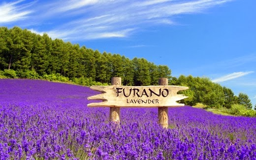 Attractions in Japan must go on. (Part 2) lavender fields at Furano