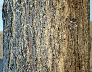 Troncos de pino en Zaragoza