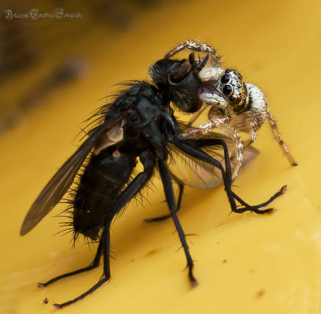 Eine Springspinne versucht einen Fliege zu fressen