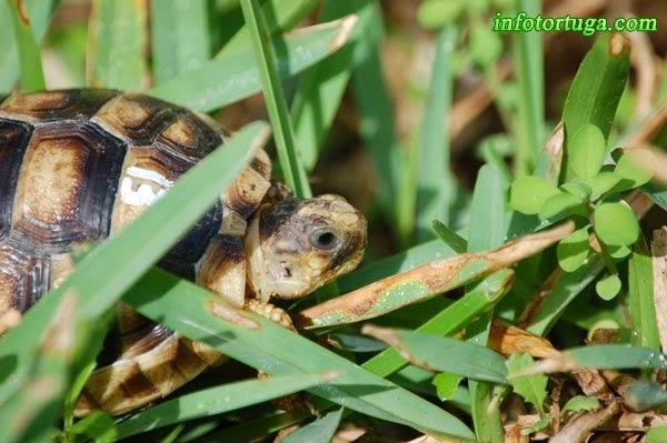 Cría de tortuga griega
