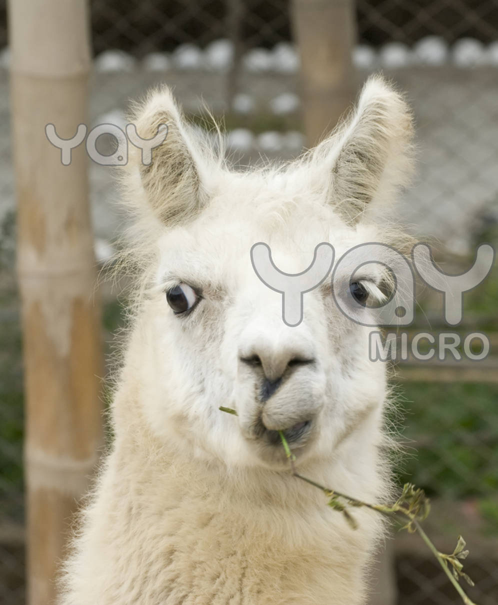 Hilarious Llama Pictures Very Sweet and Cute An...