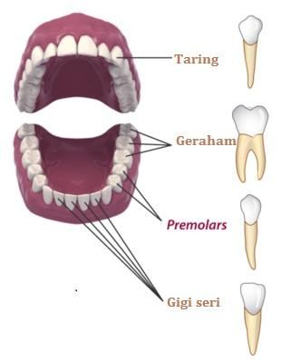 jenis gigi