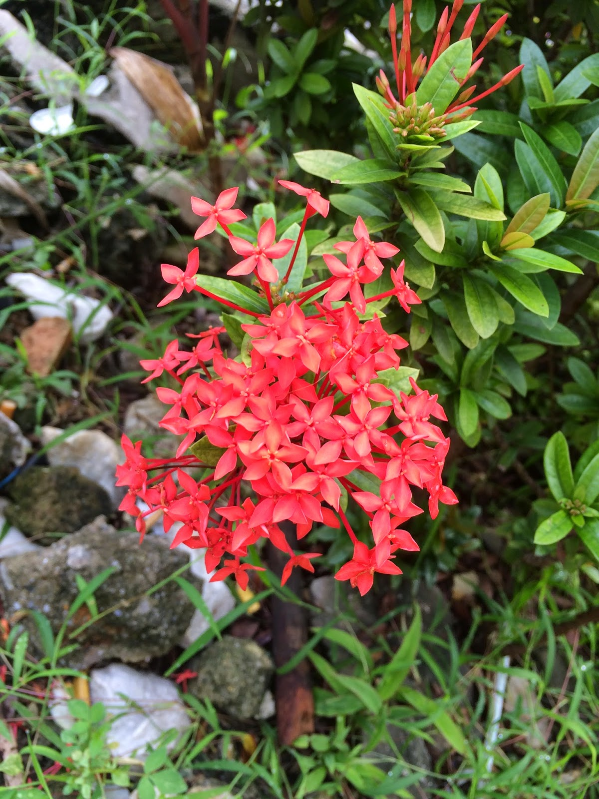 Red dwarf ixora with leaves and rocky background