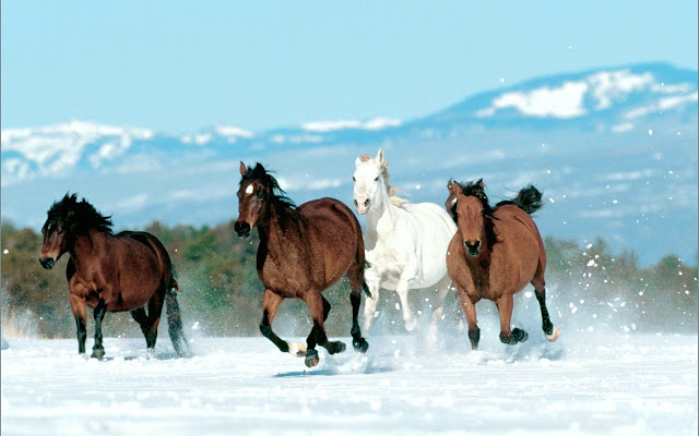 horses+wallpapers+%252811%2529
