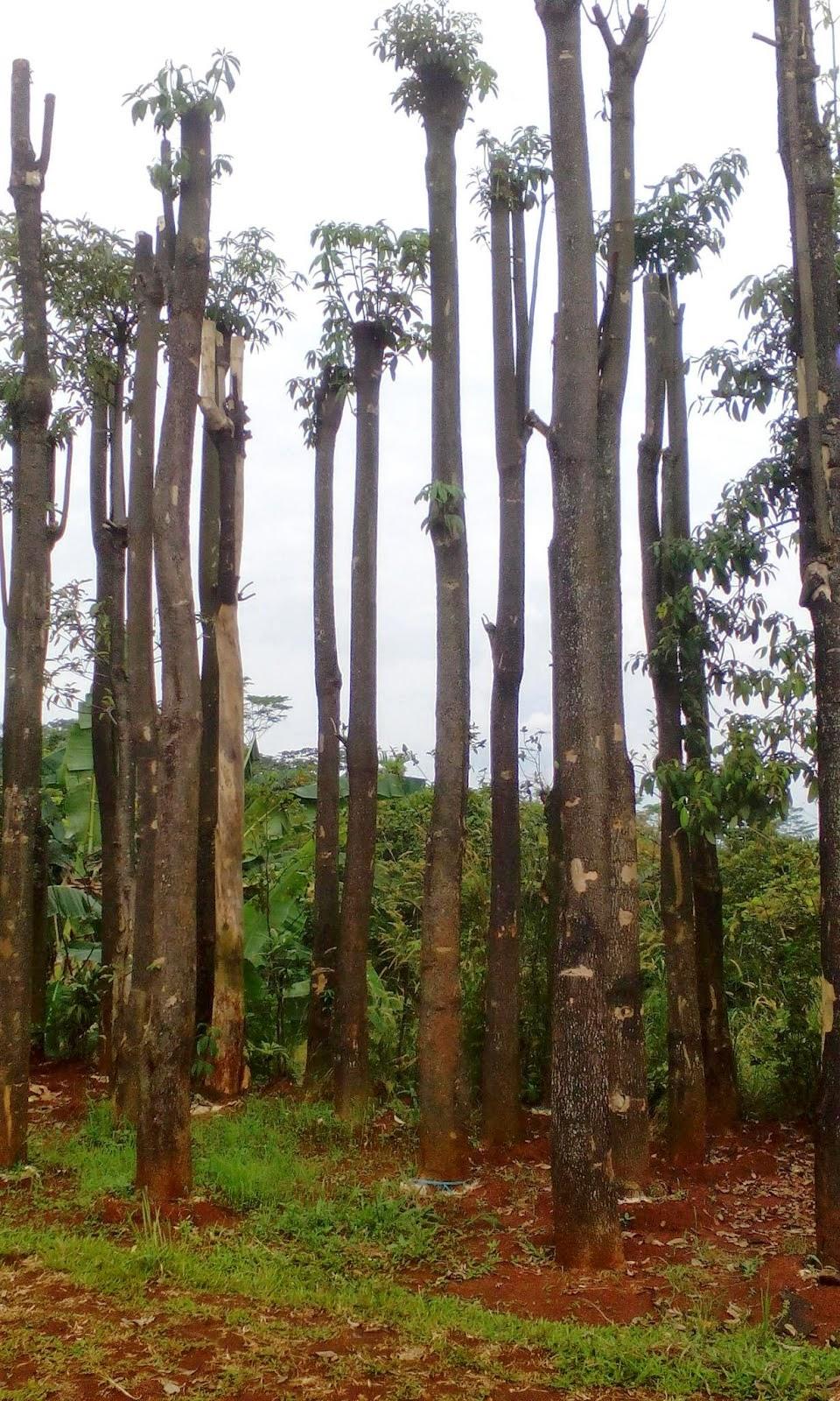 pohon pelindung pule