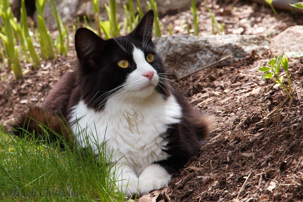 Stan the Tuxedo Cat
