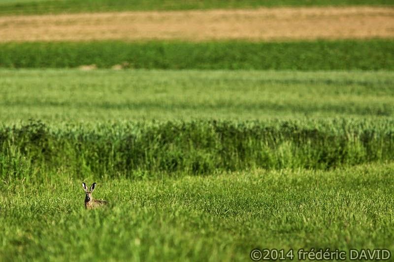 lièvre animaux campagne champ vert Seine-et-Marne