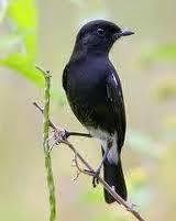 Foto Burung Decu Terbaik
