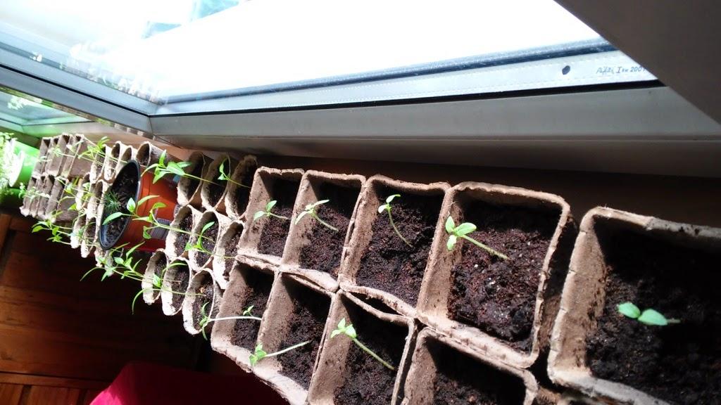 Domowa hodowla ziół, pomidorów i papryki
