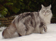 Maine Coon Silver Tabby in the snow