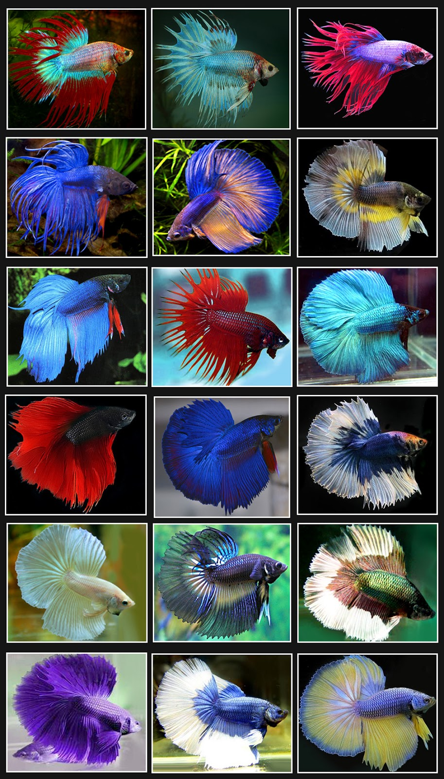 Freshwater ecology betta fish facts for Pretty betta fish