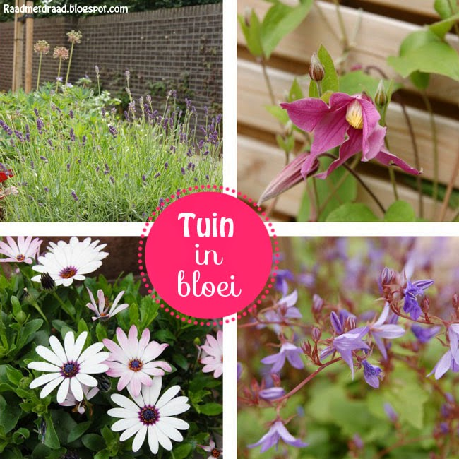 Tuin, lavendel, clematis, spaanse margriet, campanula