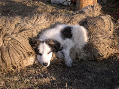 Carpatin (Carpathian sheep dog) off duty