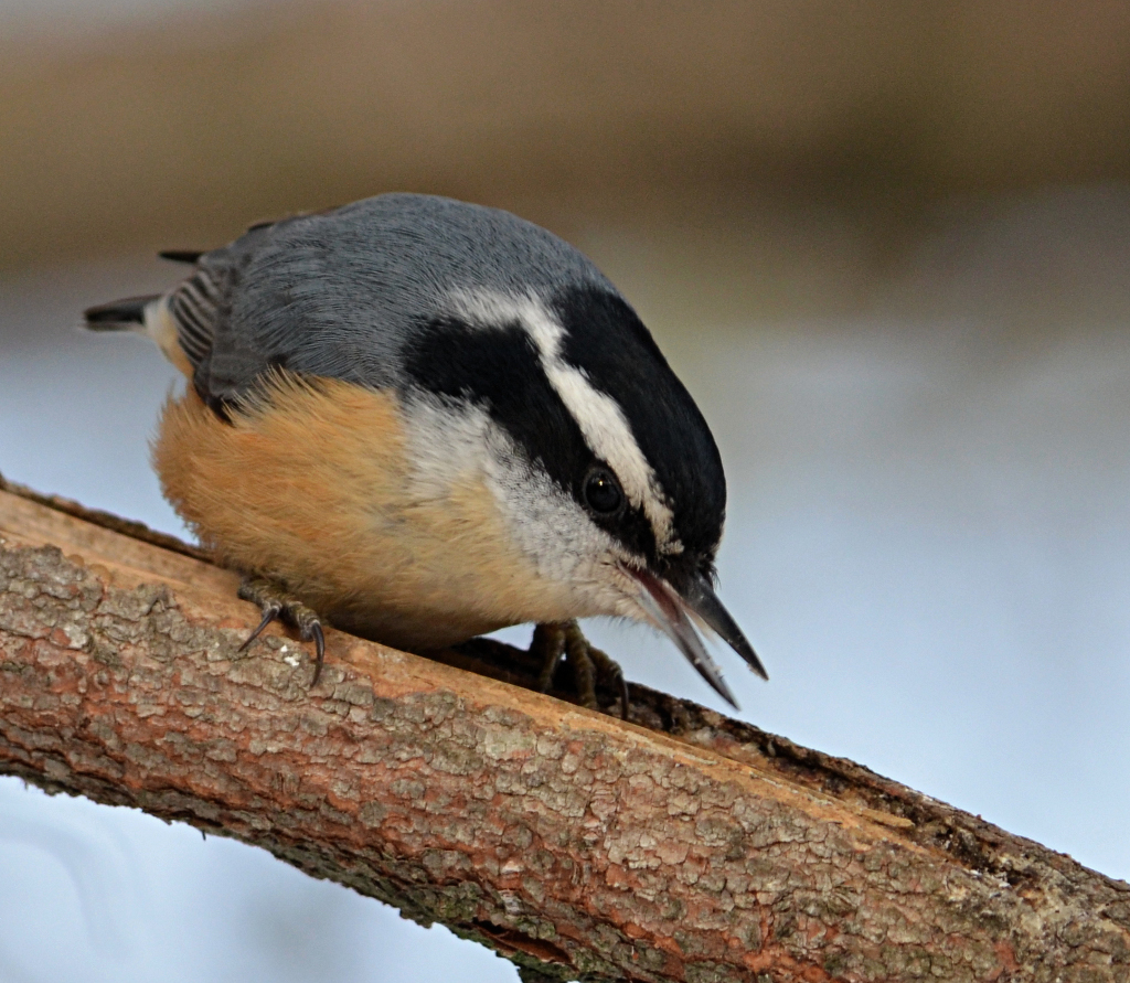 the bird garden red breasted nuthatch in new brunswick