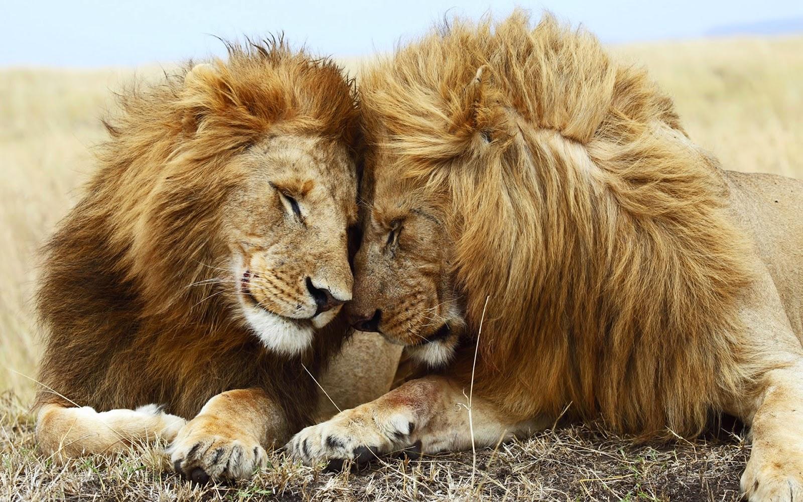 """<img src=""""http://2.bp.blogspot.com/-fgPpmtcpmic/U8VJ-AUlX6I/AAAAAAAALuY/zSxSekoKGdg/s1600/lion-couple-hd-wallpaper.jpeg"""" alt=""""Lion Couple HD Wallpaper"""" />"""