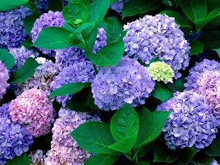 grmovnice hortenzija