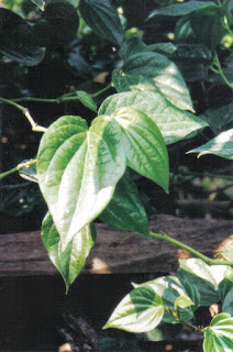 Benefits and efficacy of betel leaf