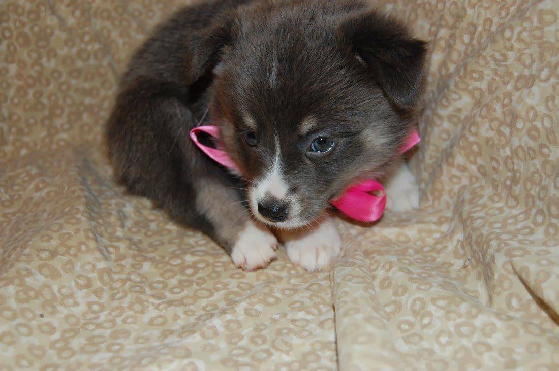 Pomsky Puppies For Adoption for Pinterest