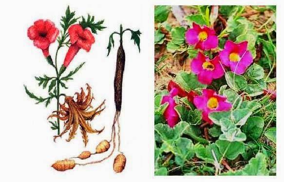 harpagofito: raíces y flor