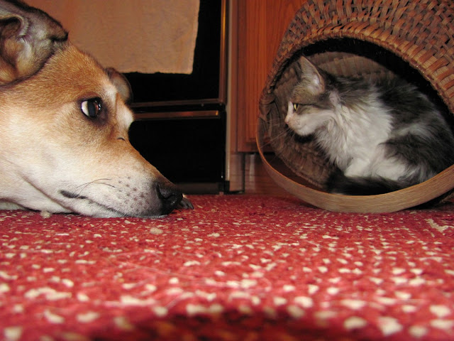 35 pictures of cats and dogs get along, cats and dogs pictures, cats and dogs are friends