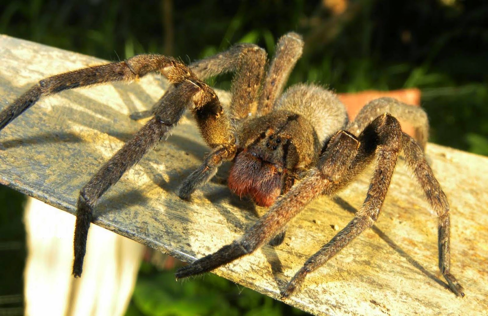 aranha mais venenosa do mundo Gigantes do Mundo #B0A81B 1600x1036