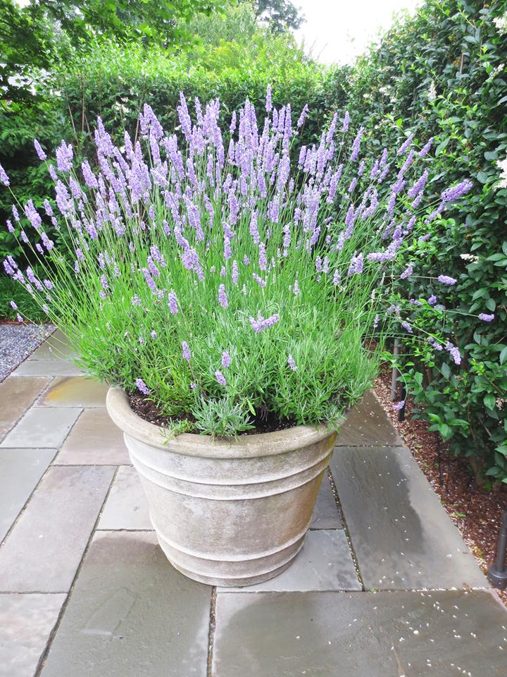 Potted lavender bing images - Growing lavender pot ...