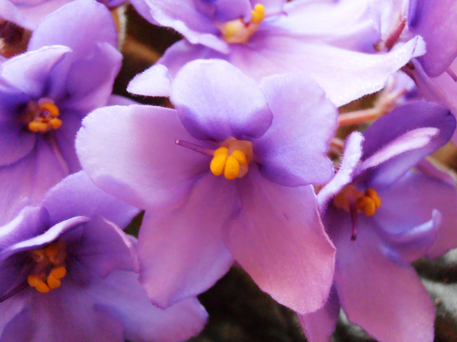 Violetas: aprenda como cultivar essas pequenas e belas  - Fotos De Violetas Africanas Flores