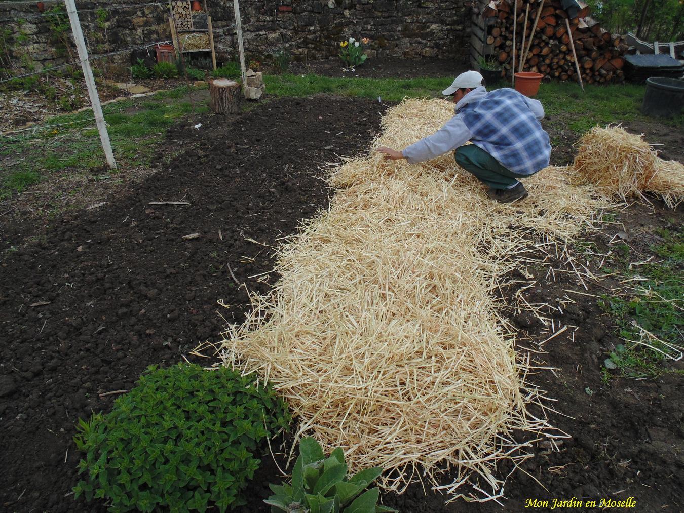 Mon jardin en moselle exp rimentations paille - Pomme de terre sous paille ...