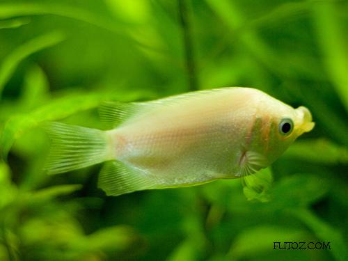 Kissing gourami helostoma temminckii fish for Kissing gourami fish