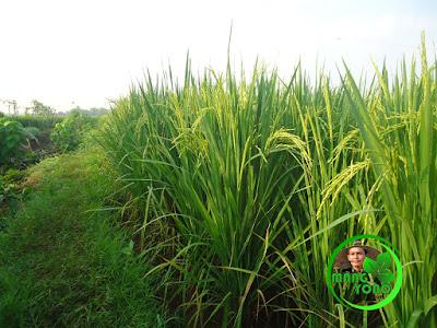 Tanaman padi admin di Cibandung, Dusun Gardu, Subang