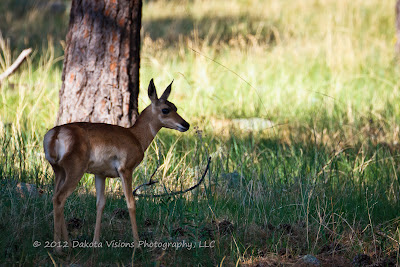 Young Antelope in Custer State Park in the Black Hills by Dakota Visions Photography LLC www.dakotavisions.com