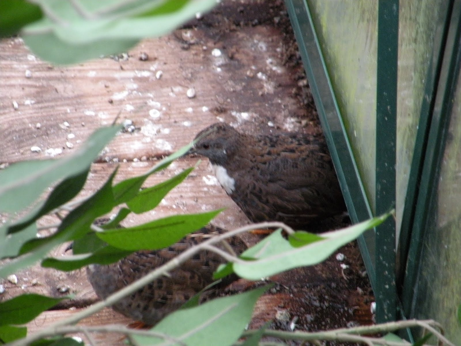 fugle i drivhus