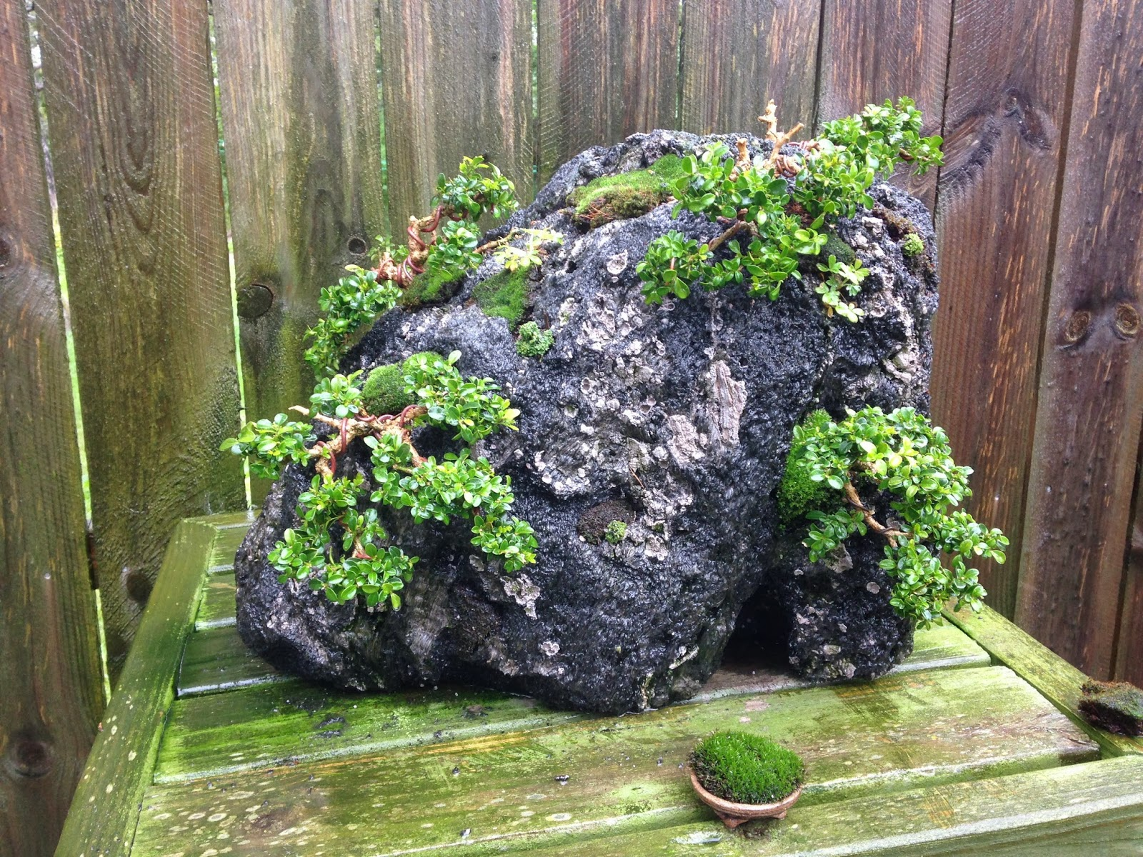 Kingsville Boxwood Rock Planting TGT Bonsai