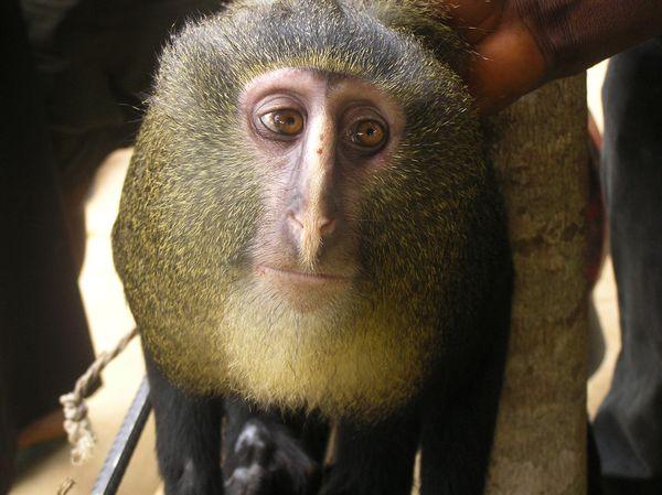 Species Name : Lesula monkey (Cercopithecus lomamiensis)