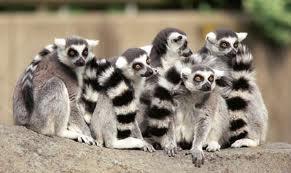 Lemurs picture